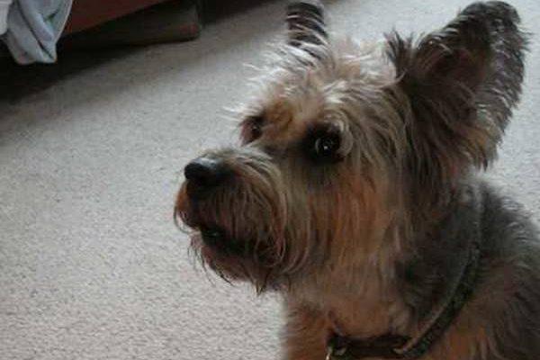 Aboiements incessants pour chien drole qui aboie