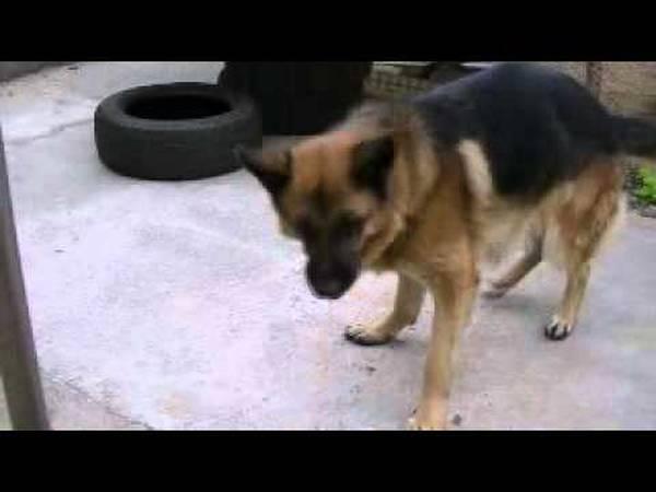 Aboiement de beagle : alfred aboya