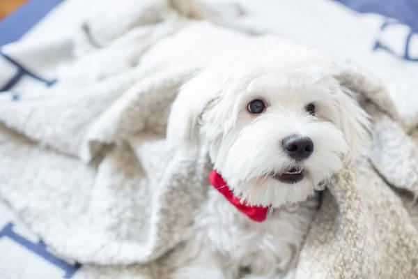 Chien du voisin aboie : chien bouledogue francais qui aboie