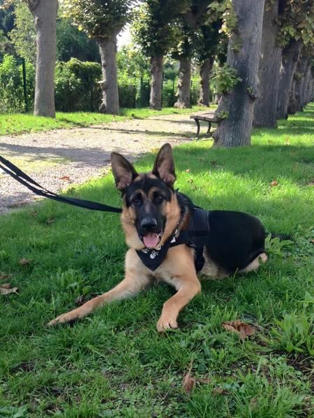 Chien de troupeau dressage pour age dressage chien bouledogue français
