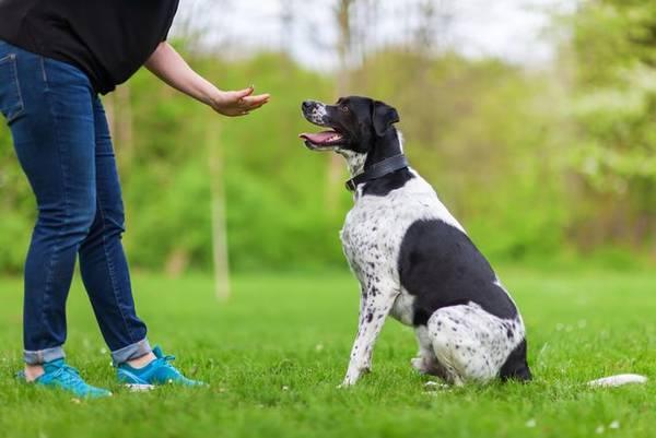 dressage chien pied sanglier