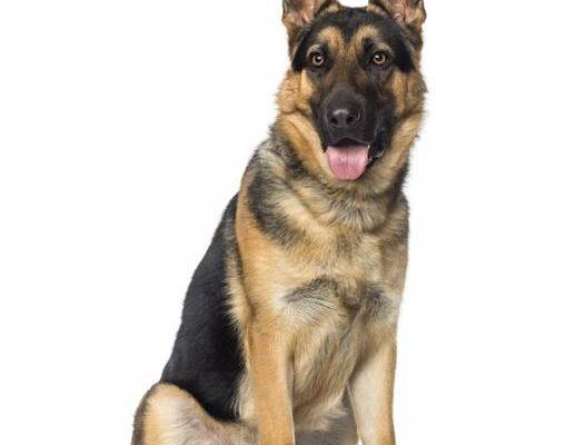 Dressage chien saint georges : cours dressage chien paris