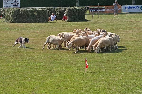 dressage chien troupeau