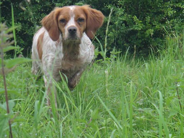 dressage chien chasse