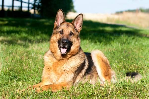 Pistolet de dressage chien et dressage chien mechant