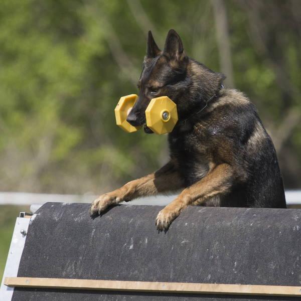 Dressage chien golden retriever et dressage de chien 93