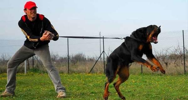 Age dressage chien berger allemand / ecole de dressage chien